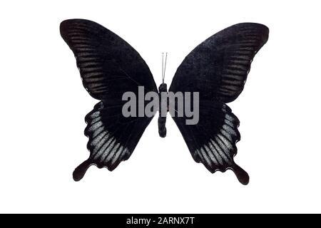 Gros papillon avec ailes noires, isoler sur fond blanc, papilio ascalaphus Banque D'Images