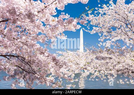 Washington DC, États-Unis avec le Washington Monument entouré de cerisiers en fleurs au printemps.