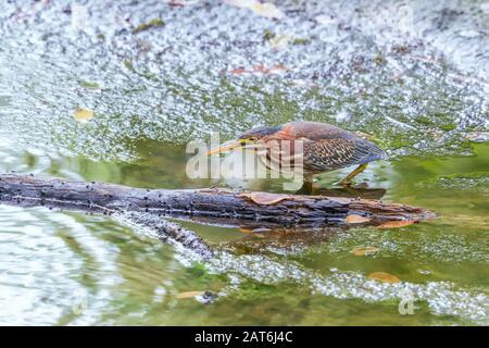 La chasse aux hérons verts juvéniles (Butorides virescens) dans le marais Beaver. Parc National De La Vallée De Cuyahoga. Ohio. ÉTATS-UNIS Banque D'Images