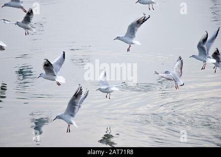 Troupeau de mouettes volantes au-dessus de l'eau en hiver, avec réflexions et ondulations Banque D'Images