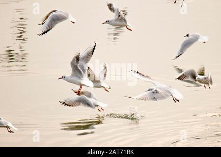 Troupeau de mouettes volantes au-dessus de l'eau de la rivière au coucher du soleil Banque D'Images