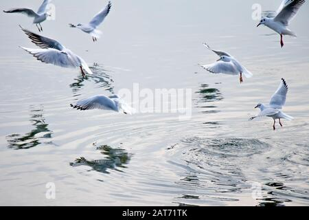 Les mouettes volantes au-dessus de l'eau en hiver, avec des réflexions sur la surface Banque D'Images