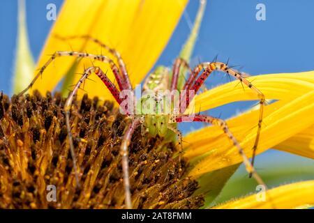 Belle araignée verte Lynx femelle au-dessus d'une fleur de tournesol en attente de proie