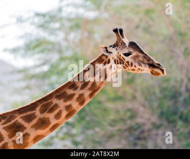 Magnifique giraffe sauvage dans le parc Safari du zoo d'Al Ain, Émirats arabes Unis
