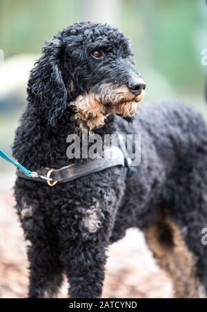 Un gros plan d'un chien d'eau espagnol sur une laisse qui regarde loin Banque D'Images