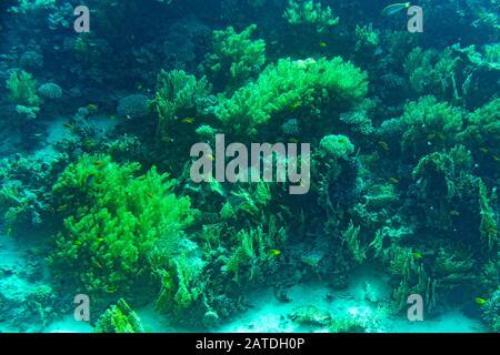 Un récif corallien sain,recouvert de coraux durs coraux mous, avec une abondance de vie du poisson. tonique. Banque D'Images