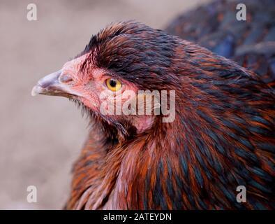 Gros plan extrême d'une tête de poulet rouge rhode Island Banque D'Images