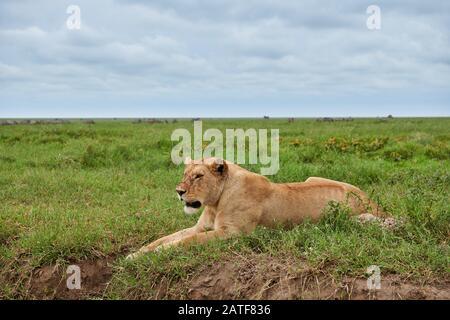 Lioness, lion (Panthera leo) dans le Parc National du Serengeti, site du patrimoine mondial de l'UNESCO, Tanzanie, Afrique