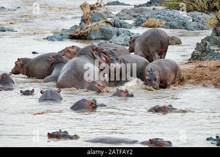 Combattre Hippos (Hippopotamus amphibius) dans le célèbre Hippo-Pool du Parc National Serengeti, site du patrimoine mondial de l'UNESCO, Tanzanie, Afrique Banque D'Images