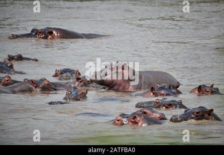 Hippos (Hippopotamus amphibius) dans le célèbre Hippo-Pool du Parc National Serengeti, site du patrimoine mondial de l'UNESCO, Tanzanie, Afrique Banque D'Images