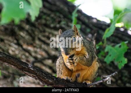 Gros plan d'un mignon Fox Squirrel assis sur une branche dans un Oak Tree et manger un orne ou un autre type de noix qu'il tient dans son peu flou Banque D'Images