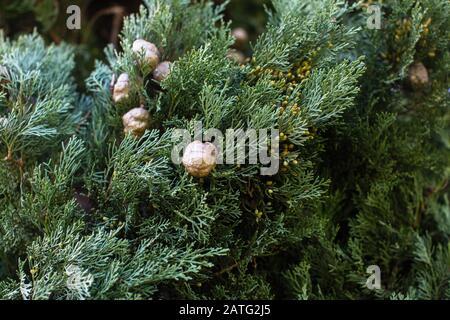 Texture de Cyprès italien (Cupressus sempervirens), vue rapprochée arrière-plan. Banque D'Images