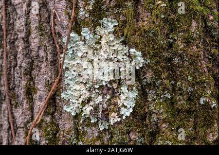 Le lichen Greenshield commun qui pousse sur l'écorce d'un vieux arbre dans Upstate New York Banque D'Images