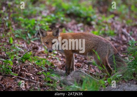 Jeune renard rouge (Vulpes vulpes) se nourrissant de carcasse de sanglier juvénile tué / squeaker mort Banque D'Images