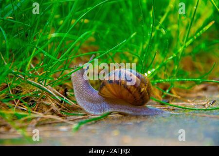 Un escargot circulant dans l'herbe Banque D'Images