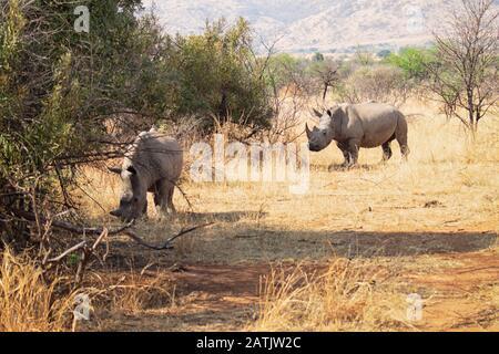 Couple de rhinocéros paissent sur la savane dans le soleil chaud sur les plaines sèches avec de l'herbe Banque D'Images