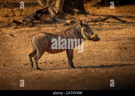 Phacochère - Phacochoerus africanus commune membre sauvage de la famille des suidés trouvés dans les prairies, les savanes, et de bois, dans le passé, il était comme une sous-espèce
