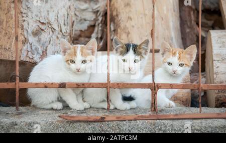 Trois chatons curieux de chat de bébé, blanc bicolore avec rouge et tabby van modèle, assis côte à côte sur un mur de jardin derrière une clôture de fer, Grèce Banque D'Images