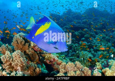 Albacbar Angelfish, Pomacanthus Maculalosus, Marsa Alam, Wadi Gimal, Egypte, Mer Rouge, Océan Indien Banque D'Images
