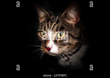 Un portrait gros plan d'un chat à l'extérieur avec un fond noir complètement sombre avec un regard d'intensité sur son visage avec des yeux jaunes lumineux avec intensité Banque D'Images