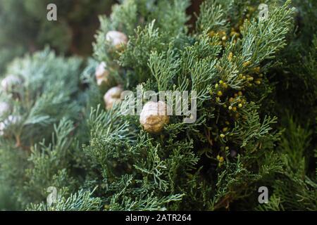 Cyprès italien (Cupressus sempervirens), texture closeup fond. Banque D'Images