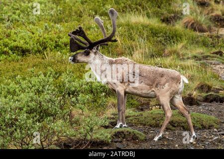 Caribou de taureau (Rangifer tarandus) avec des bois en velours pourtant les manteaux de printemps sont généralement assez rateux, intérieur de l'Alaska