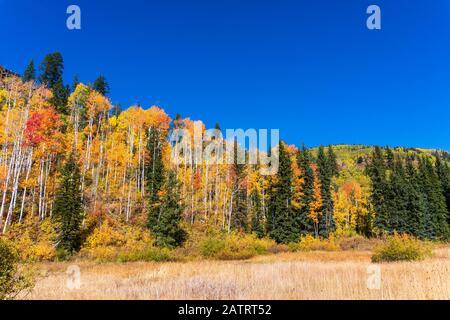Arbres à Aspen aux couleurs éclatantes de l'automne dans les montagnes de San Juan près de Durango, Colorado. Banque D'Images