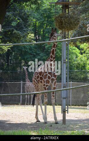 Des girafes somaliennes réticulées dans le zoo