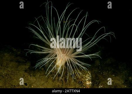 Anemone Fireworks