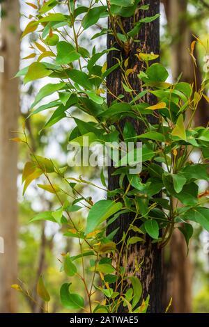 Nouvelle croissance verte des feuilles sur l'arbre brûlé après les feux de brousse à Victoria Australie - image verticale Banque D'Images