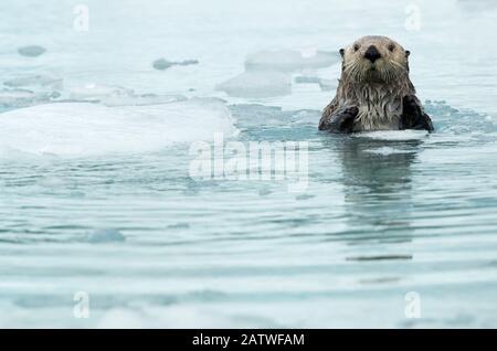 Loutre de mer (Enhydra lutris) reposant entre la glace de mer, Alaska, États-Unis, juin Banque D'Images