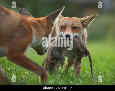 Renard rouge (Vulpes vulpes) cub défendant sa mort (un grand rat brun mort (Rattus norvegicus)) d'un autre cub, North London, UK. Août.