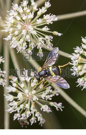 L'aéroglisseur de type guêpe Chrysotoxine bicintum se nourrissant sur l'inflorescence d'un umbellifer, Peak District National Park, Angleterre
