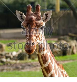 Portrait d'une Giraffe, Giraffa camelopardalis, dans le zoo Banque D'Images