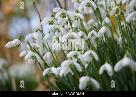Chutes de neige (Galanthus nivalis) poussant au bord de la route dans le Yorkshire de l'est, Angleterre, Royaume-Uni, GB. Banque D'Images