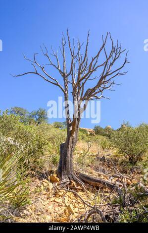 Arbre mort devant le ciel bleu sur Lost Mine Trail dans le parc national de Big Bend, près de la ville de Terlingua, dans l'ouest du Texas Banque D'Images