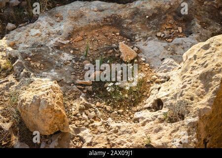 Plusieurs petites fleurs blanches qui poussent sur un rocher Banque D'Images