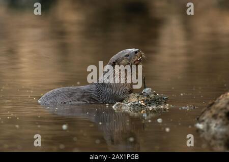 Un Otter néotropical (Lontra longicaudis) de South Pantanal, Brésil