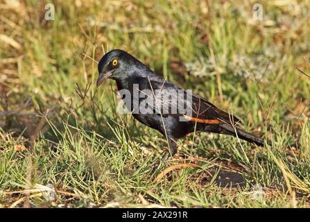 Starling à ailes pâles (Onychognathus naburoup), nourriture adulte dans l'herbe Augrabies, Afrique du Sud Novembre Banque D'Images