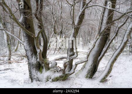 Arbres de hêtre enneigés, sur le Kahler Asten, la plus haute montagne de NRW, hiver, près d'Altastenberg, Winterberg, Sauerland, Allemagne Banque D'Images