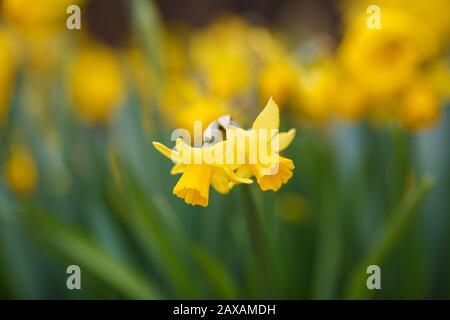 Narcisse tate une tete qui fleurit au printemps Banque D'Images