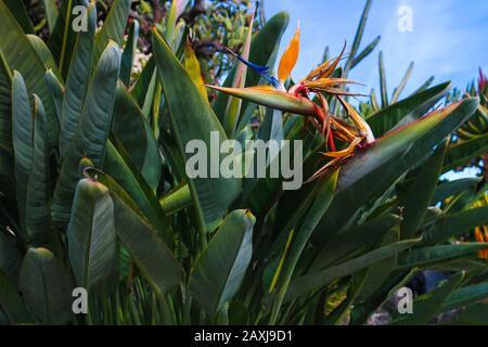 La tête de fleur bleue et orange spectaculaire de Strelitzia reginae, également connue sous le nom de 'oiseau de la plante paradisiaque' ou 'Crane flower'. Banque D'Images