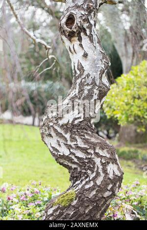 Betula pendula 'Youngii' - arbre de Birch Weeping de Young, gros plan, en hiver. Banque D'Images