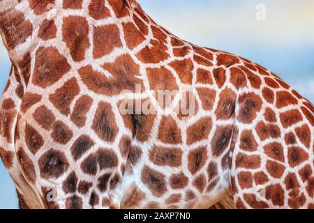 Gros plan photo de girafe, giraffa, avec fond bleu ciel. C'est une photo de profil. C'est un mammifère d'artiodactyl africain, photo de la faune sauvage en safari Banque D'Images