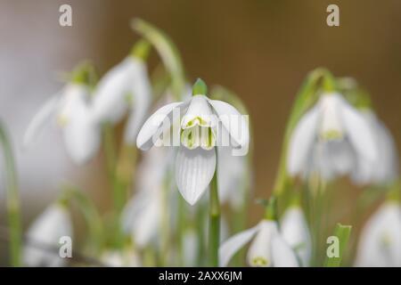 Gros plan des chutes de neige (galanthus nivalis) en fleurs Banque D'Images