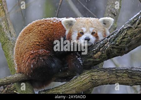 Panda rouge, petit panda, Ailurus fulgens, pendant la tempête de neige Banque D'Images
