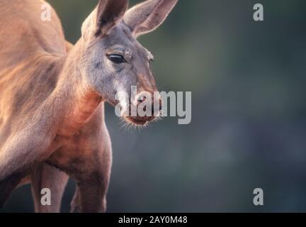 Portrait d'un kangourou rouge mâle (Macropus rufus), Australie Banque D'Images