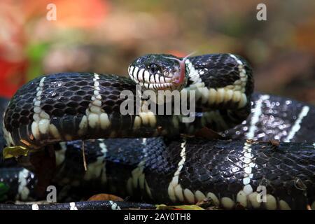 Portrait d'un serpent de la Boiga prêt à frapper, Indonésie Banque D'Images