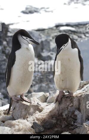 Pingouin de l'Antarctique, hommes et femmes, debout près de la jugulaire ou site de nidification Banque D'Images