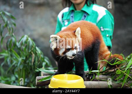 Le panda rouge
